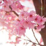 意味のある偶然−娘の発熱のおかげで満開の桜の花見ができたお話